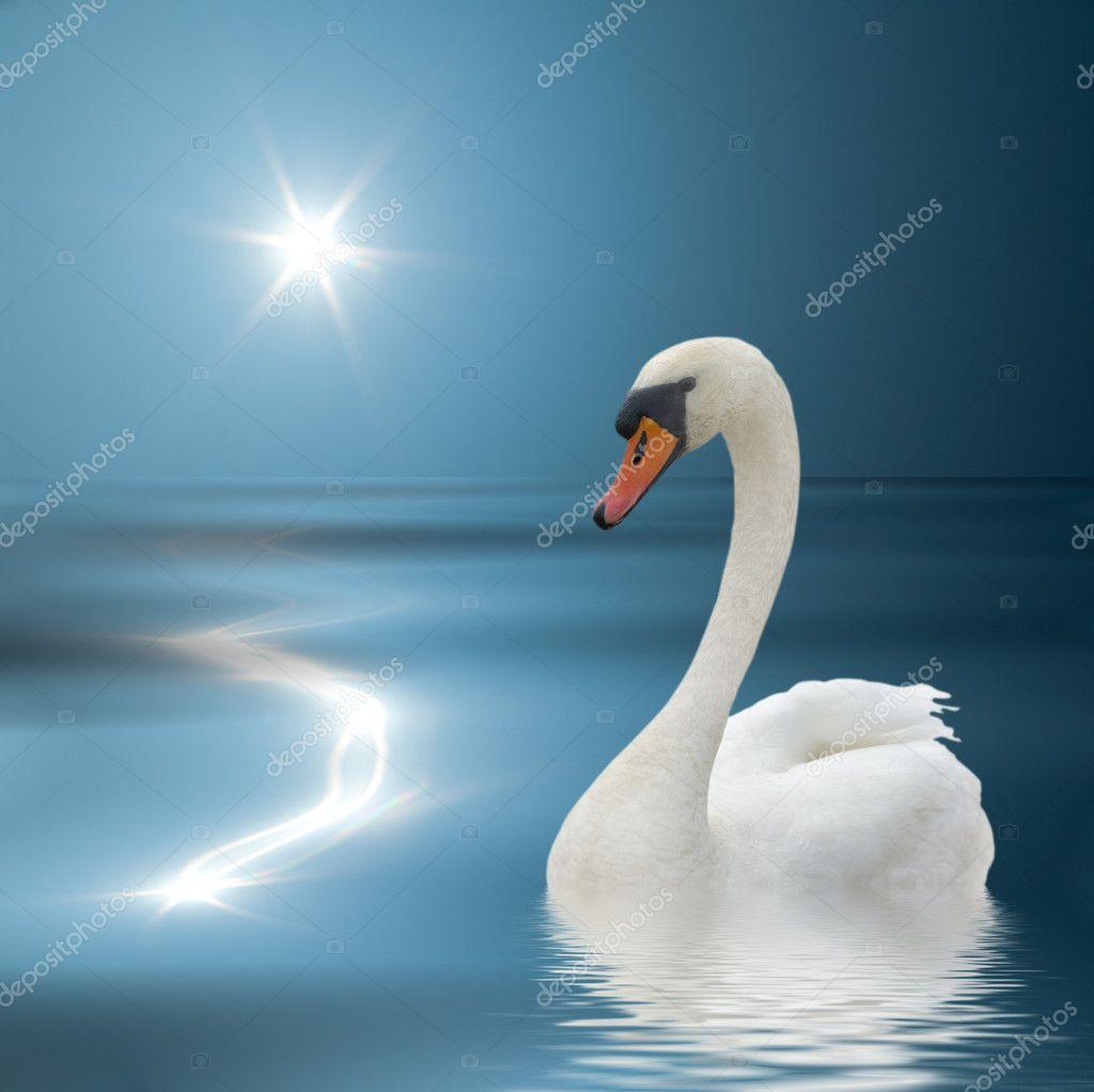 White swan and sunlight.