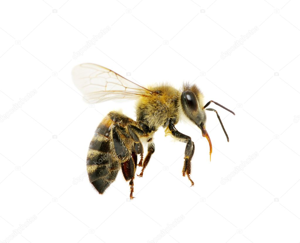 Bee in flying