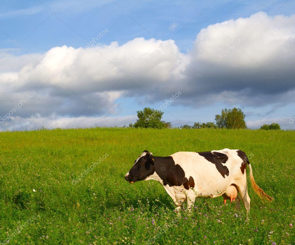 Корова на лугу — Стоковое фото © aleksask #4306385