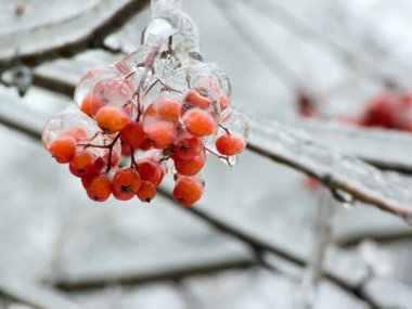 Berries. Ice. Sleet.