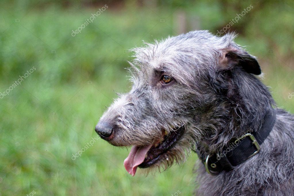 Portrait de l'irish wolfhound — Photographie foaloce ...