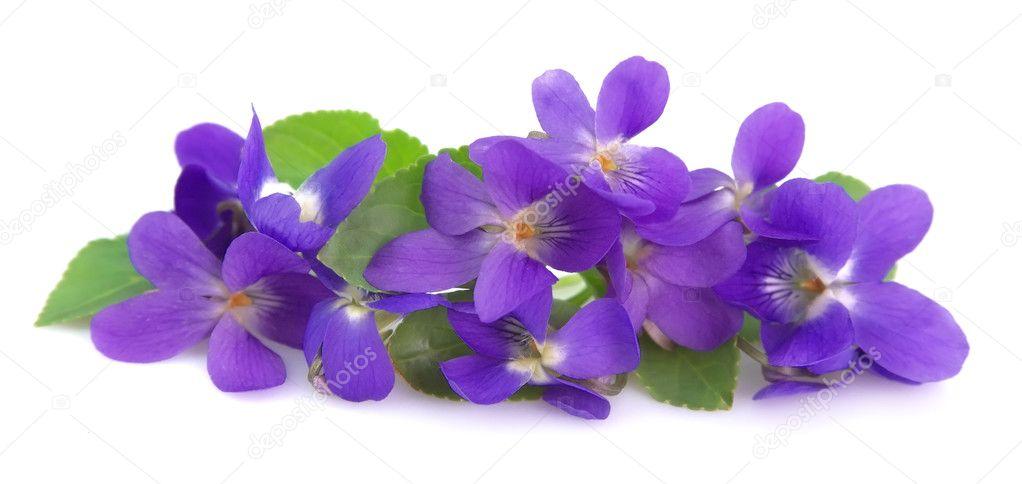 Wild spring violets