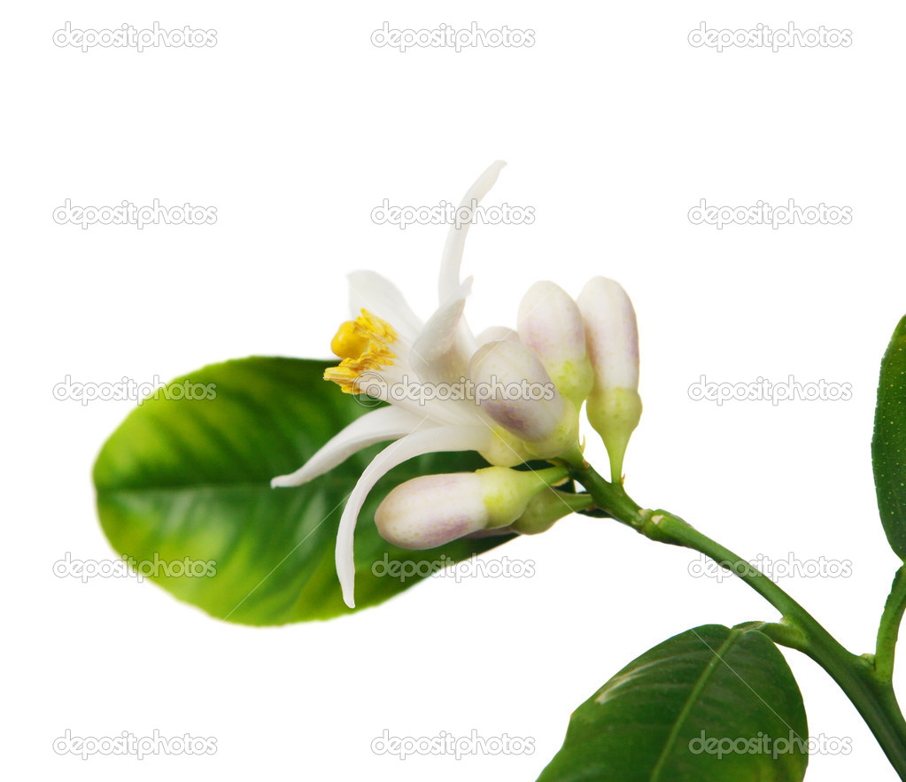 Lemon flower on the white background (Citrus limon)