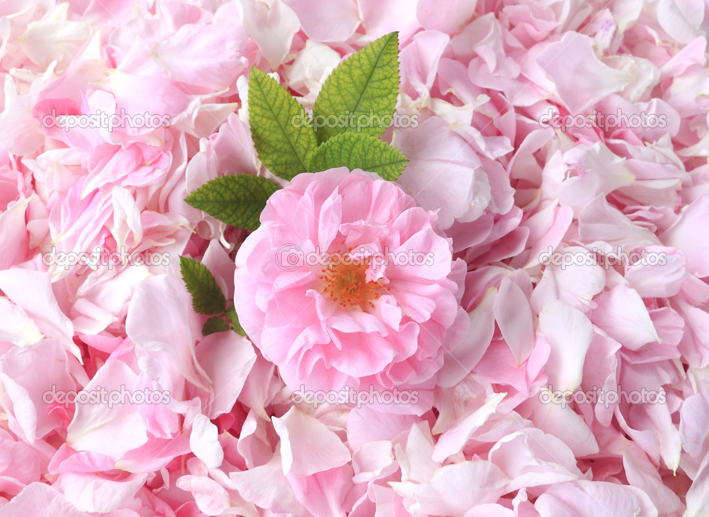 Tea-rose petals on the background