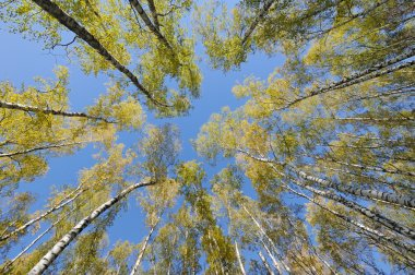 Looking up in birch forest