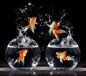 goldfishs skoky