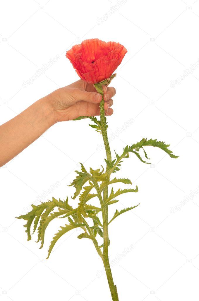 Poppy - flower