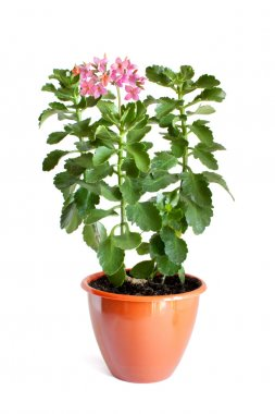 Green home plant with pink flowers in flower pot
