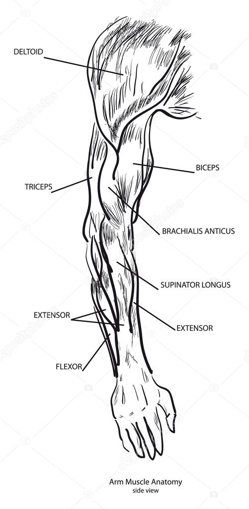 Arm-Muskel-Anatomie — Stockvektor © VIPDesignUSA #4171016
