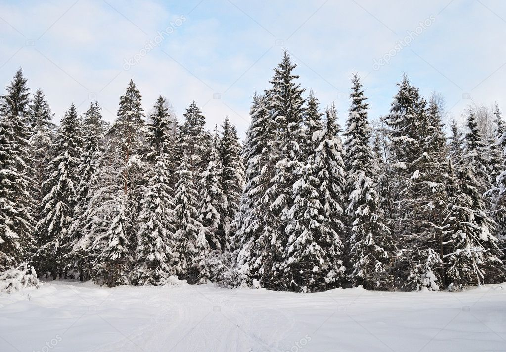snowy fir trees forest - photo #15