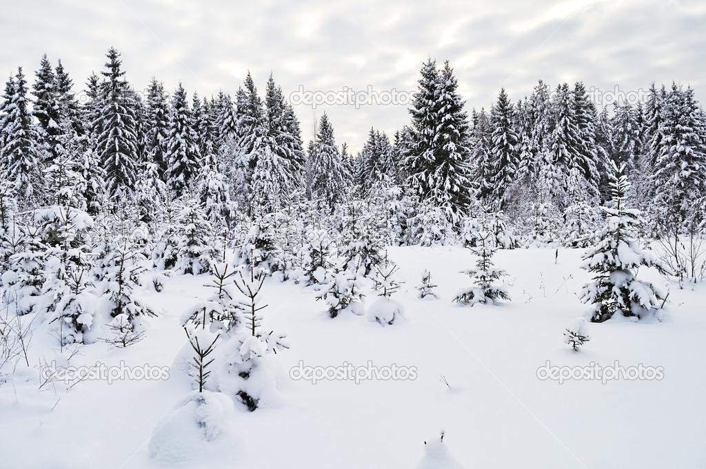 snowy fir trees forest - photo #18