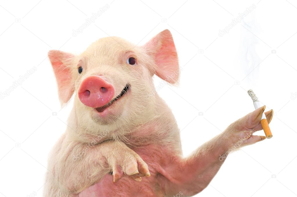 Pig Smoking Cigarette