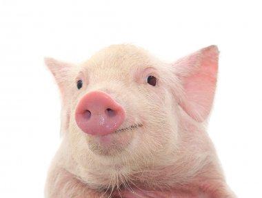 "Картина, постер, плакат, фотообои ""портрет милой свиньи на белом фоне "", артикул 4594214"
