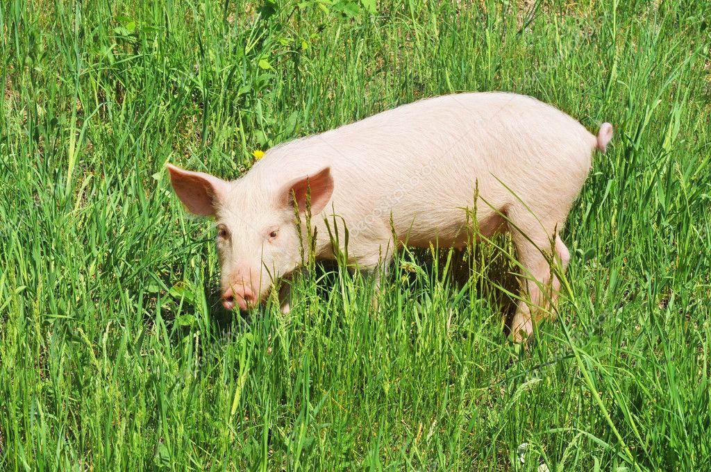 свинья травяная фото проходят фееричные вечеринки