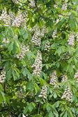 kaštanové květy