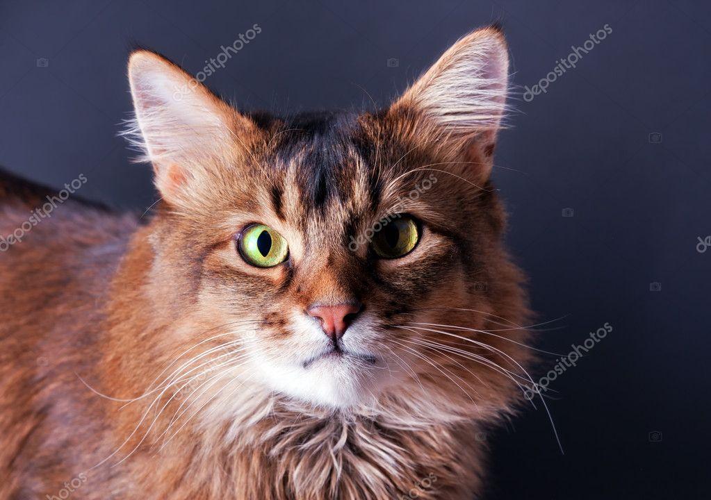 ルディ ソマリ族猫の肖像画 — ス...