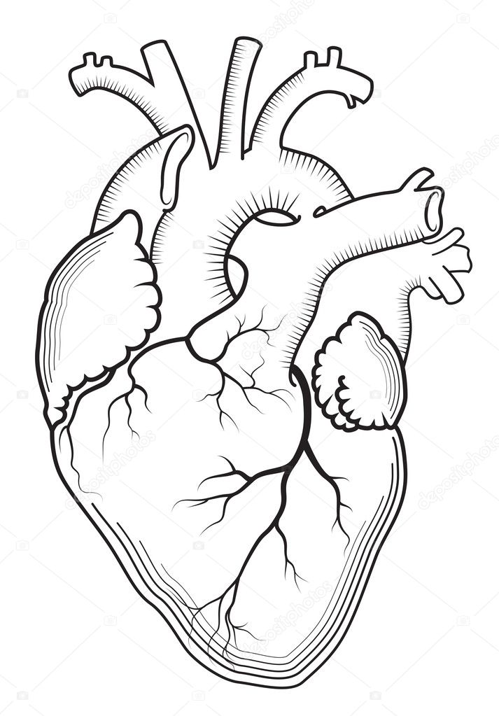 Heart The Internal Human Organ Anatomical Structure Stock