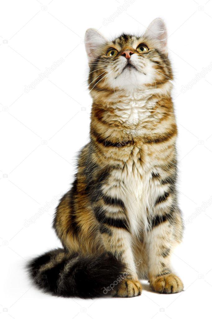 1dced2131640 η γάτα Σιβηρίας — Φωτογραφία Αρχείου © kovalvs  3944219