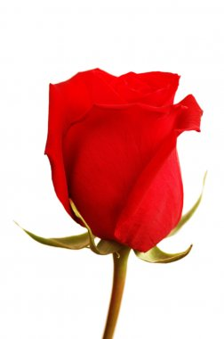 Close up of the red rose isolated on white