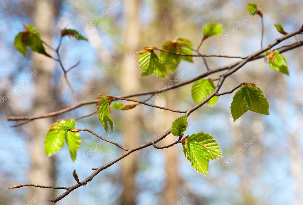 branche d 39 arbre avec le printemps les bourgeons et les jeunes feuilles photographie mazzzur. Black Bedroom Furniture Sets. Home Design Ideas
