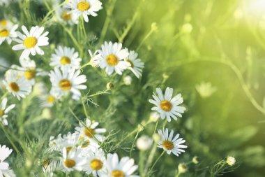 Field of daisy