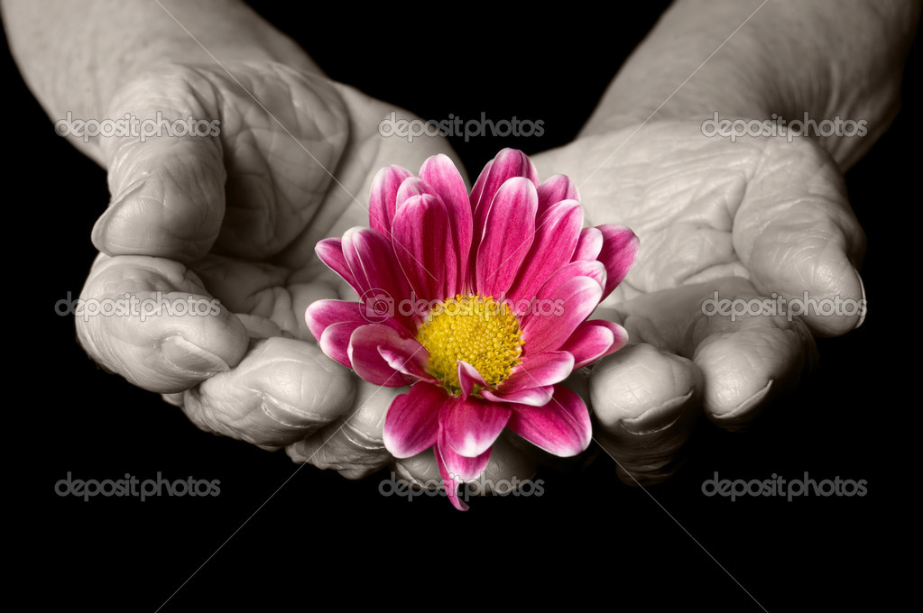 Old hands with a flower on the black