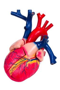 Human heart, anatomical model
