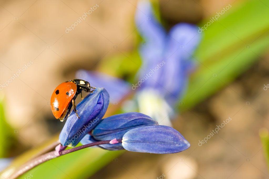 Ladybug on snowdrop flower