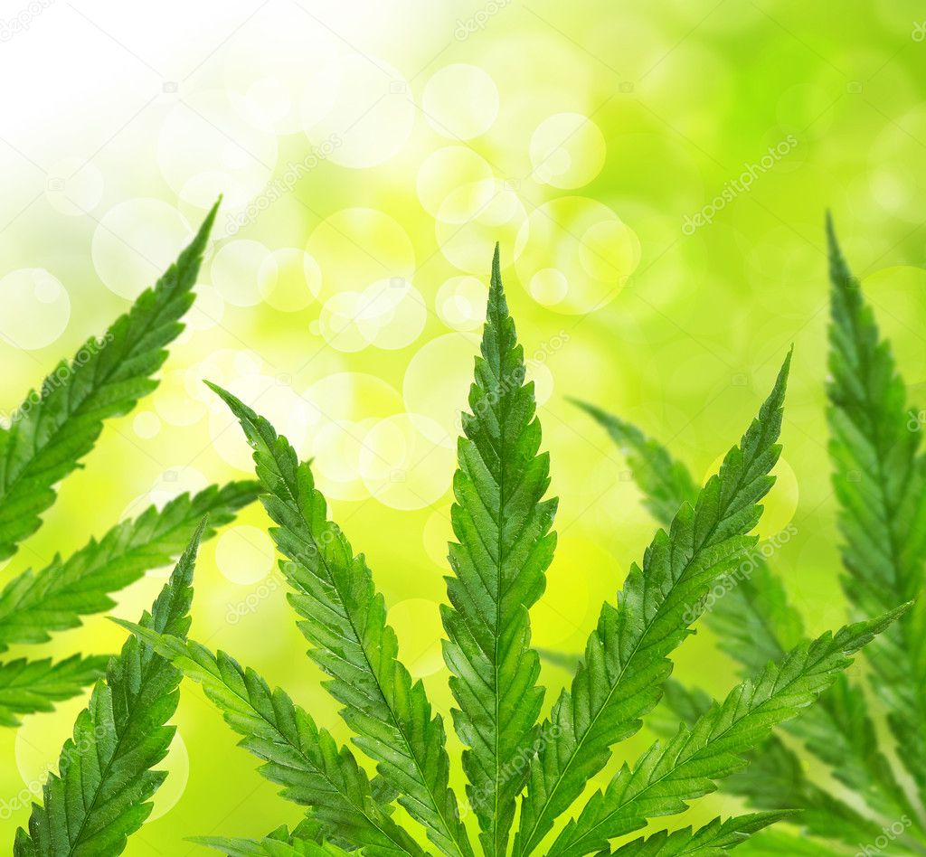 Green marijuana leaves