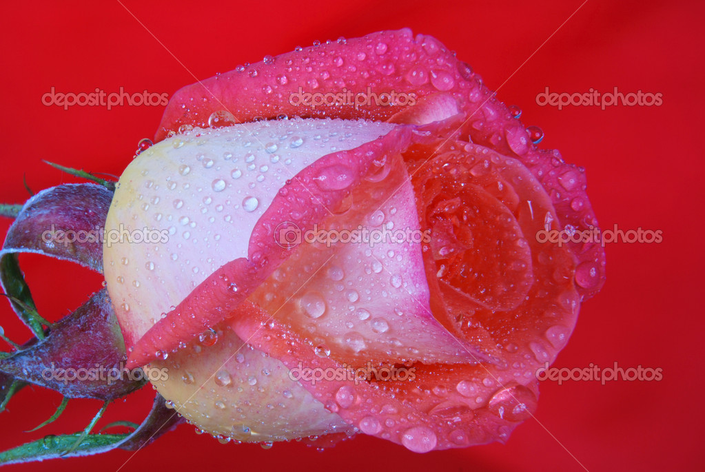Rose close up with dew