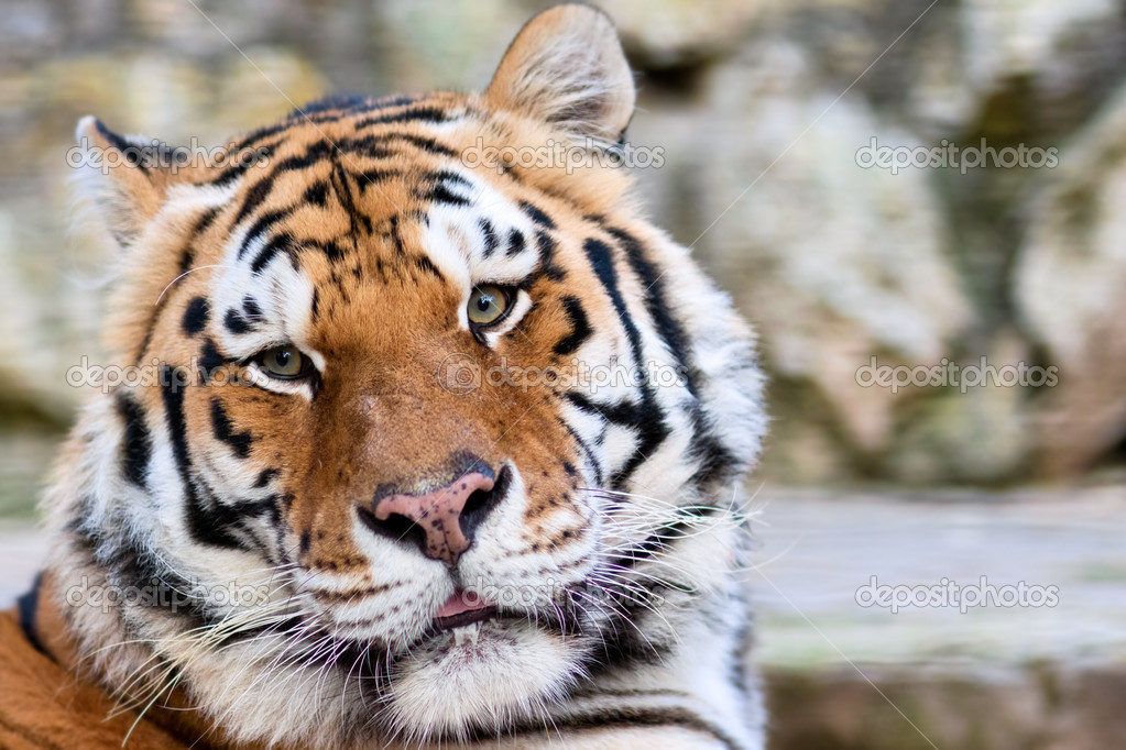 tigers face stock photo jenmax 3994875