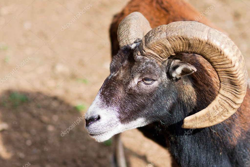 Headshot of a Big Horned Ram