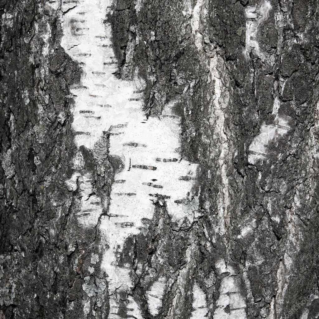Black and white texture of birch