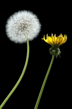 Blooming and dried dandelions