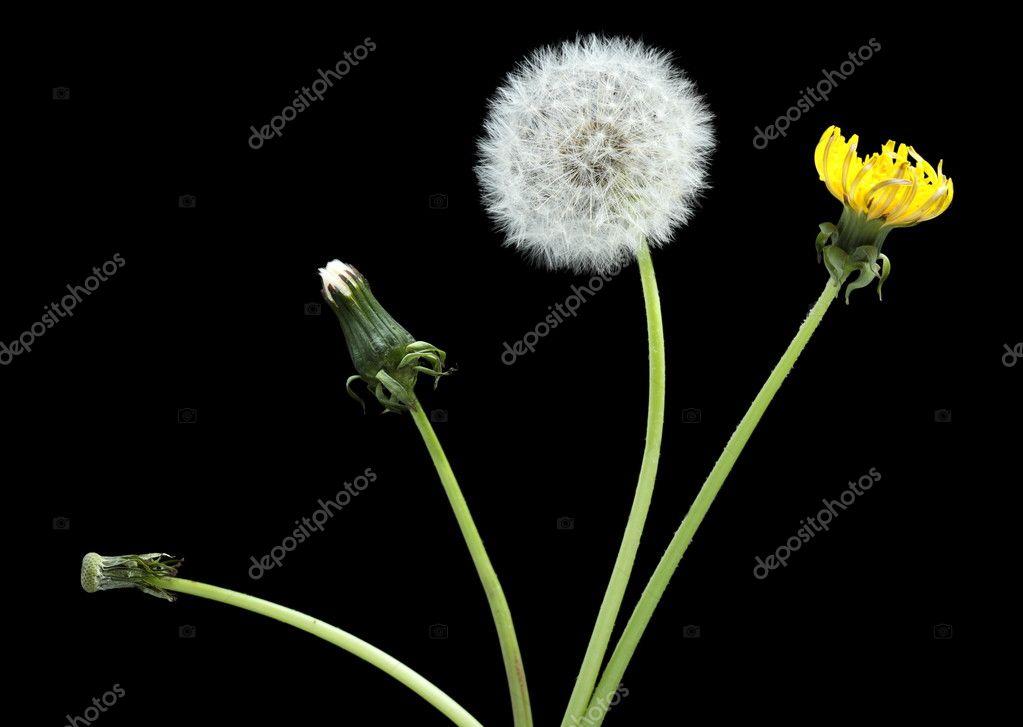 Stage of development dandelion