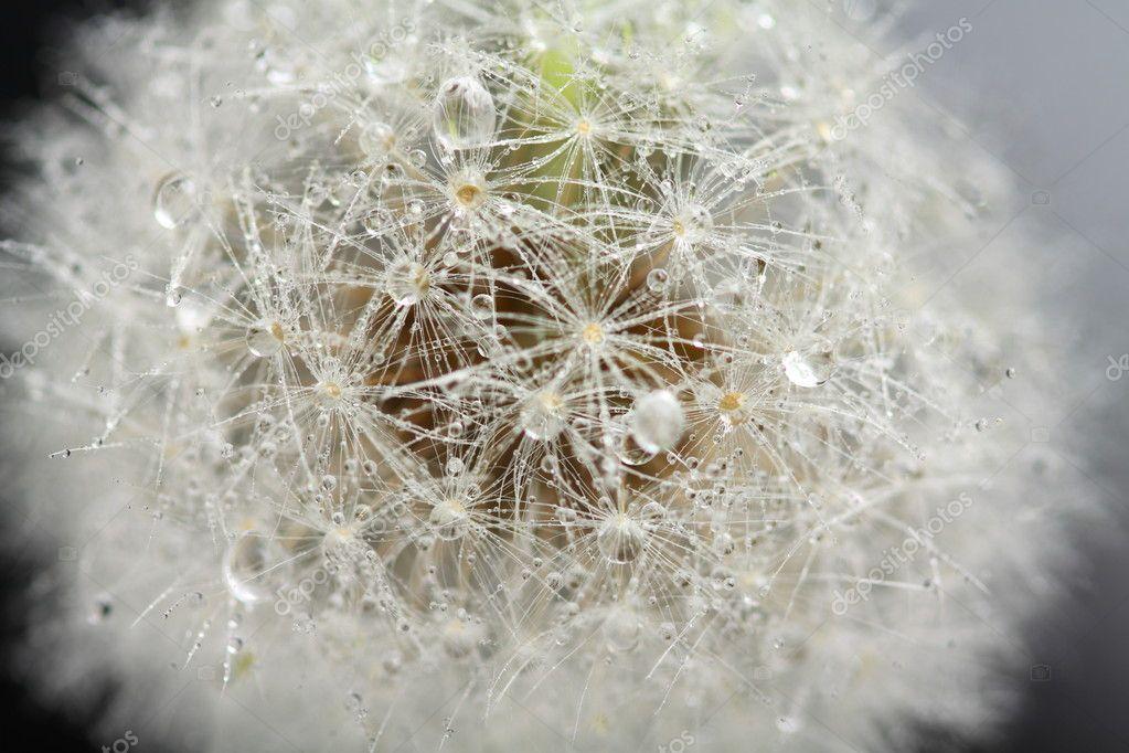 Head of dandelion, macro