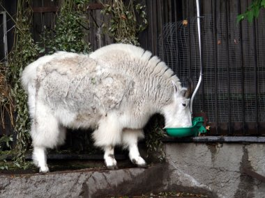 Mountain goat in Moscow zoo