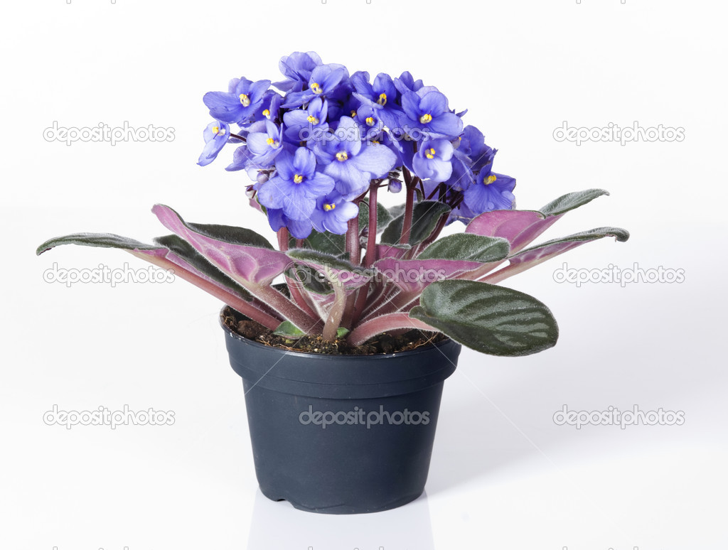 Violet viola flowers in a pot