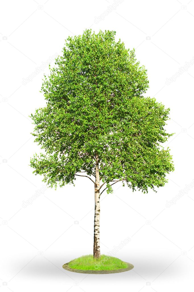 Birch tree isolated on white