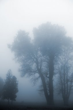 Tree in a fog.