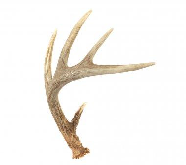 Angled Whitetail Deer Antler