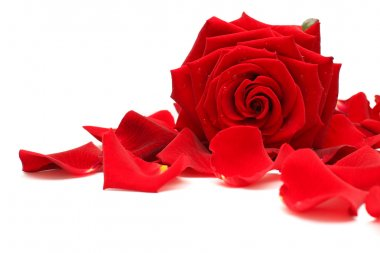 Red rose and rose petals on white