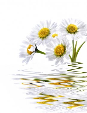 Daisy reflected in water