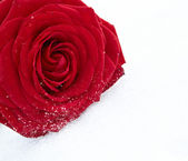 Frozen red rose in white frost.