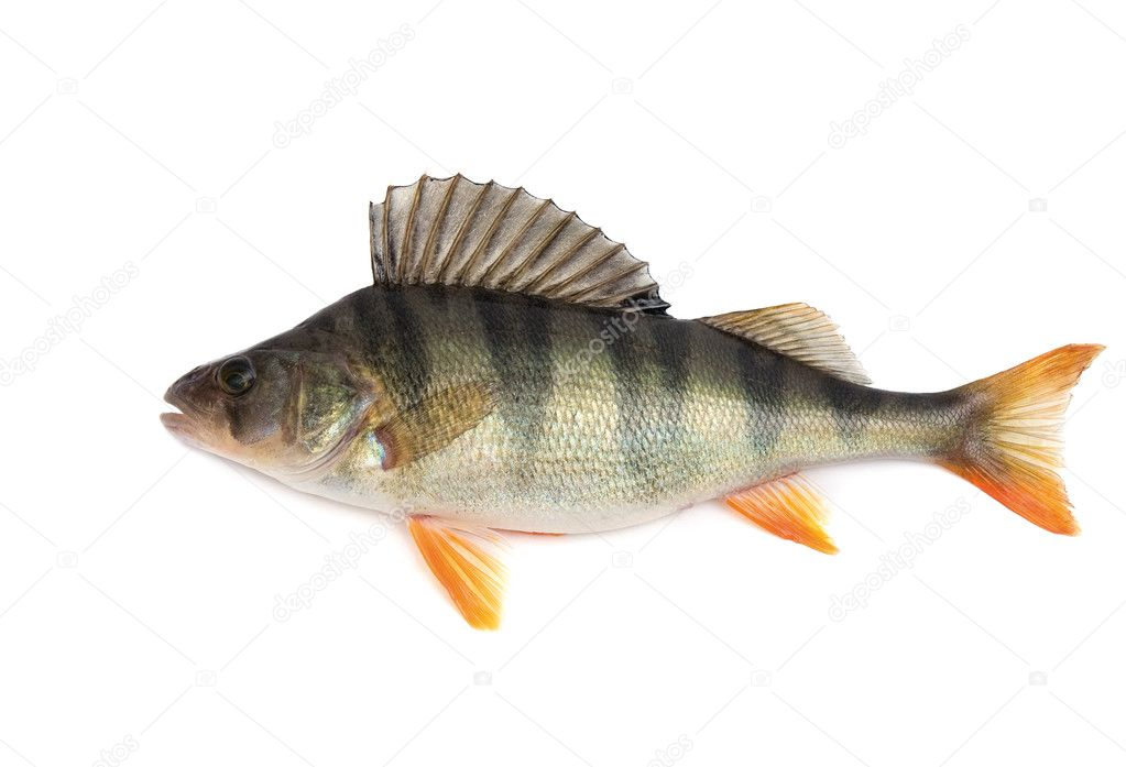 рыба окунь для 6 лет