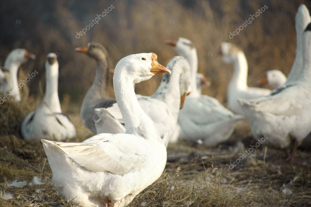 Ducks in nature