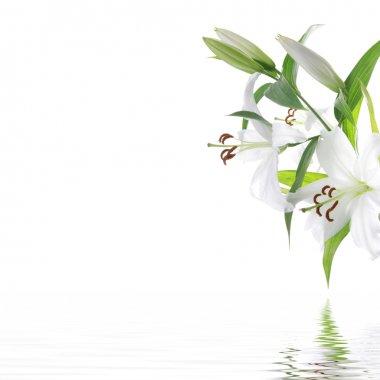 White lilia flower - SPA design background