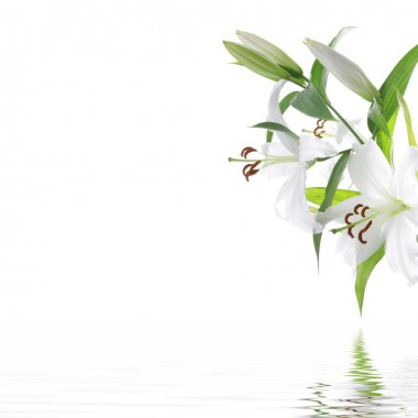 White lilia flower - SPA design background isolated on white stock vector
