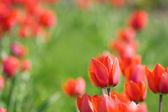 szép piros tulipán