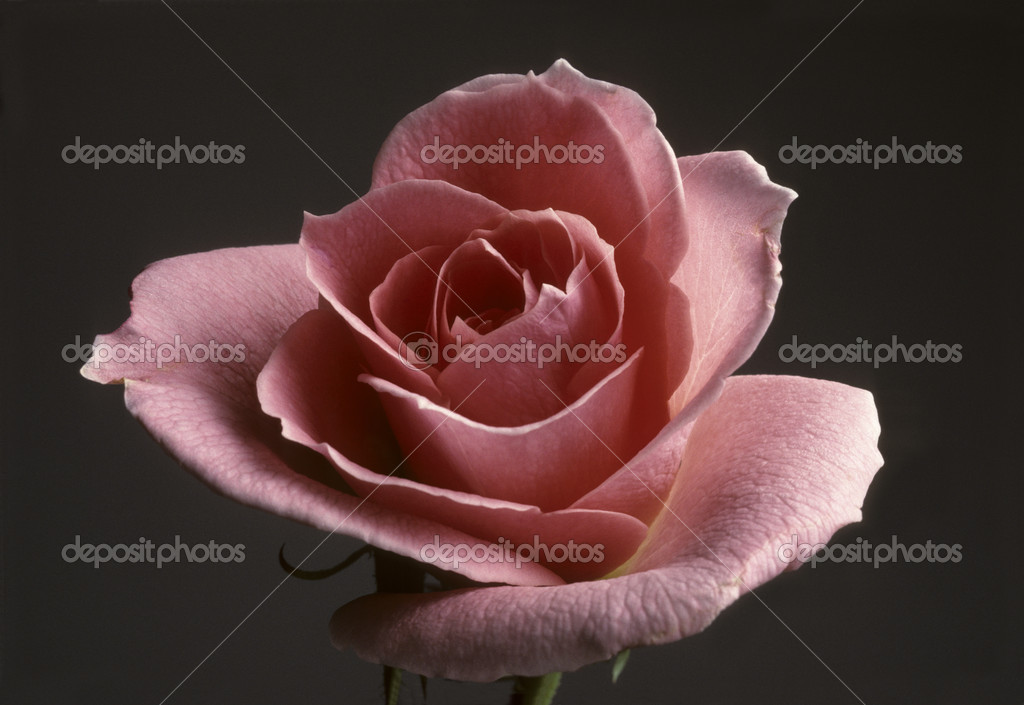 Primo Piano Di Una Pesca Colore Rosa Foto Stock Balefire9 5145515